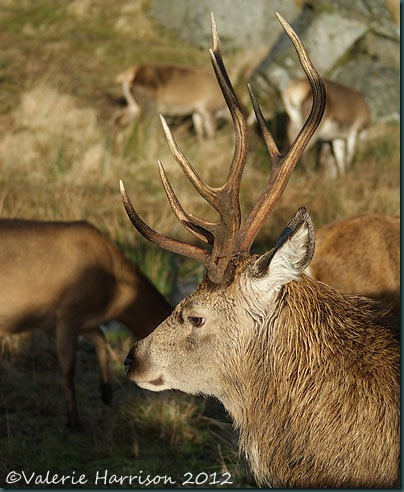 27-red-deer