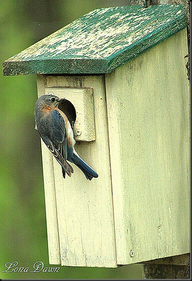 Bluebird3_April25