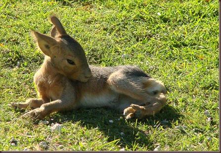 Amazing Animals Pictures Patagonian mara  (13)