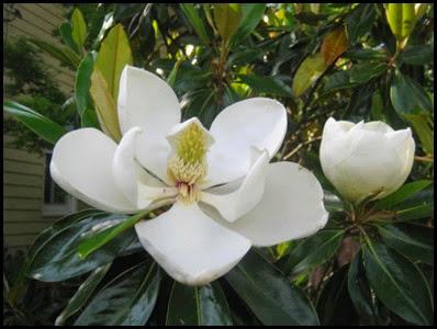 magnolia_flower7