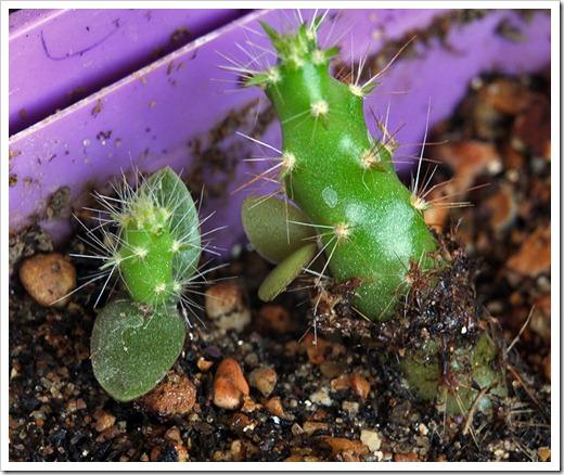 110813_cactus_babies5