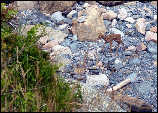 08i3 - Marginal Way - fawn in ocean