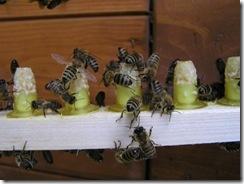 včely na květu a matečniky 006
