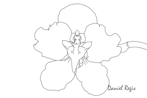 Cyrtochilum macranthum 'Pacifica'
