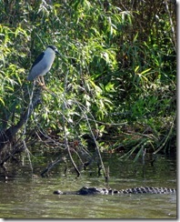 Black-crowned Night Heron and Gator