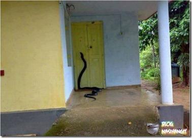 ular masuk dalam rumah