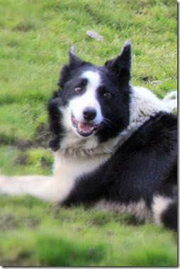 sheepdog-best-ring-of-kerry-tour-killarney