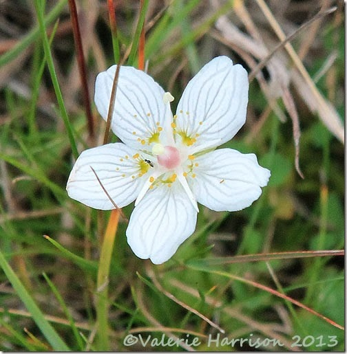 8-grass-of-parnassus
