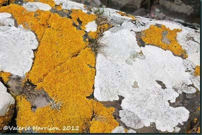 17-lichen