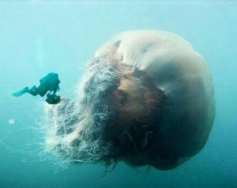 Есть и такие медузы