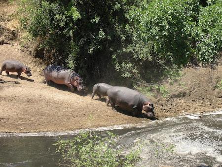 Safari: Hippos in Serengeti