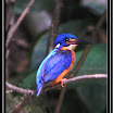 Blue-eared Kingfisher ( Alcedo meninting ).jpg