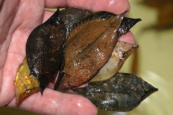 leaf mimickig fish