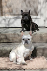 Franny, as beneficial as the sun is, it's best taken in moderation!  Many people don't realize that dogs can get sunburned just like people!  And we Frenchies, being a short haired breed, are especially susceptible.