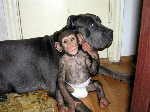 Chimpanzee Adopted By a Mastiff 09