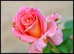 04f4 - Flowers in the Rose Garden