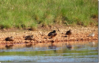 Mallards and a Green-wing Teal in the sunshine