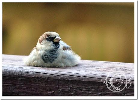 cr-flat-sparrow
