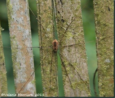 harvestman-Leiobunum-rotundum-female