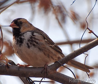 8. Harris sparrow in OK-kab