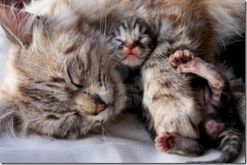 anemia-emolitica-gattino