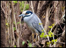 06b - Yellow Crown Night Heron