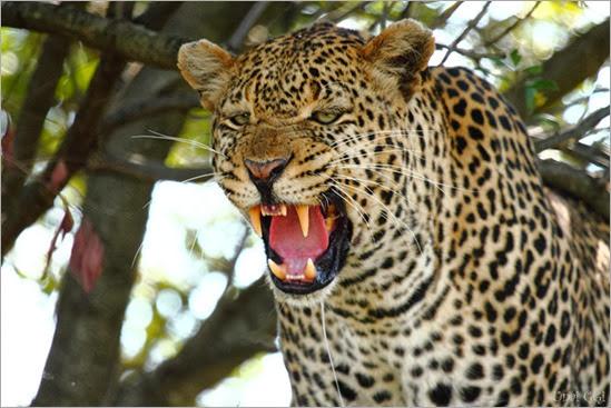 el-rugido-del-leopardo