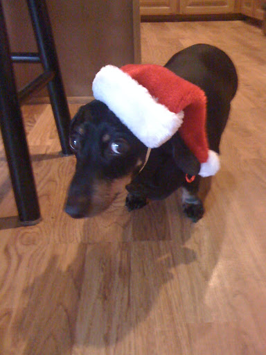 Barbara K. says Buddy is ready for Christmas!