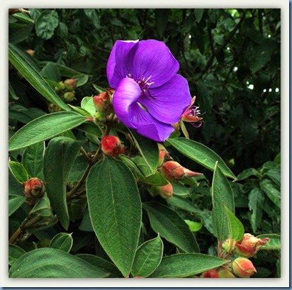 Tibouchina  in full bloom