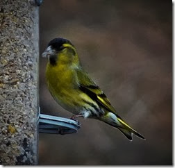 siskin Male Feb 2014 Wales