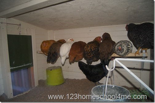 Chickens roosing in chicken coop