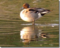 14a Northern Pintail ( 99 kb )