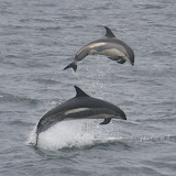 Leaping atlantic white-sided dolphins (photo by jodi sivak)