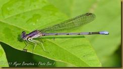 bo Violet Dancer male D7K_0257 NIKON D7000 July 19, 2011