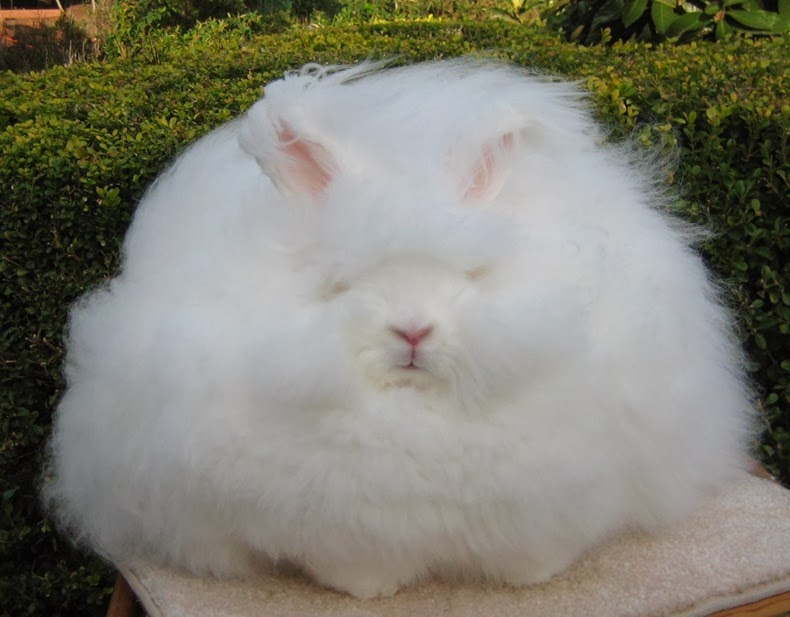 angora-rabbit-5