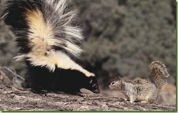 striped_skunk_and_squirrel_42-17339130