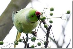 paris 2012 parrots in parc montsouris 010913 00000