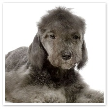 bedlington_terrier_puppy2