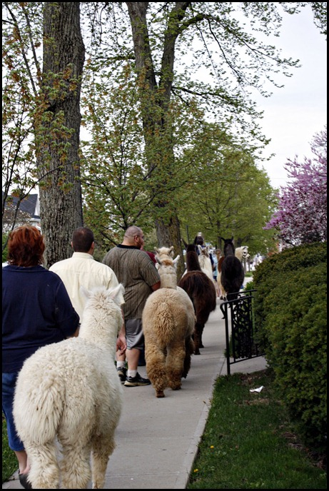 Los Llameros de St Paris, 4H, Llamas
