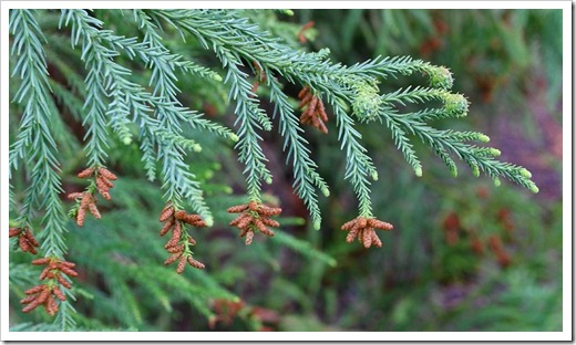 120317_Capitol_Park_Cryptomeria-japonica_05
