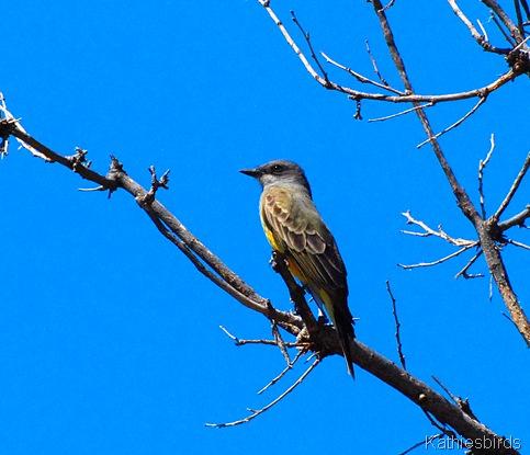 11. western kingbird-kab