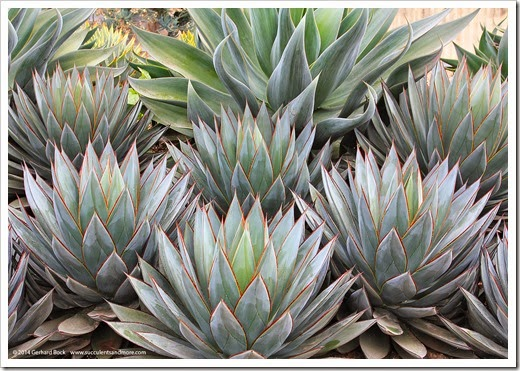 120929_SucculentGardens_Agave-Blue-Glow_05