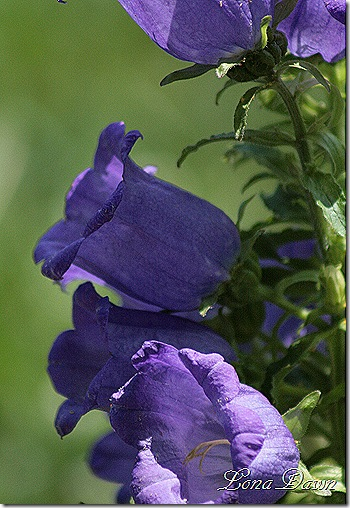 M_Bellflowers2