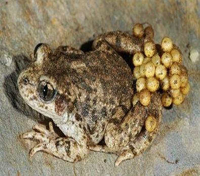 Alytes-amphibia-prental-care
