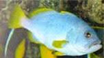 Réunion-Mayotte mérou bleu et jaune