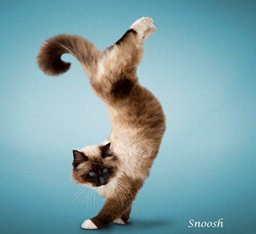 yoga-cats-4