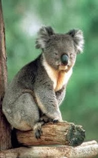 Amazing Pictures of Animals, Photo, Nature, Incredibel, Funny, Zoo, Koala, Phascolarctos cinereus, Alex (4)