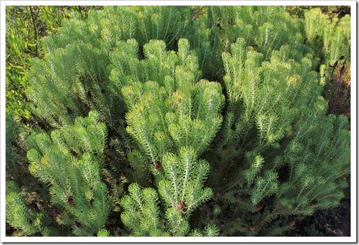 121027_UCSCArboretum_Leucadendron-teretifolium_01