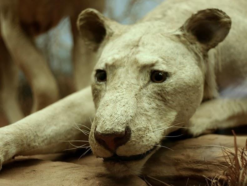 tsavo-lions-1