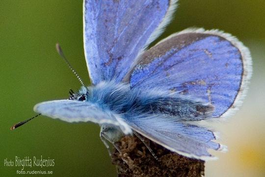 butterfly_20110729_blue4a